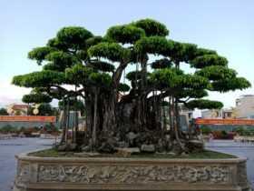 Cây sanh hàng trăm năm tuổi được định giá hơn 20 triệu USD